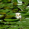 water lillies 061415 667_0564