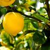 lemon 41714_0648 2