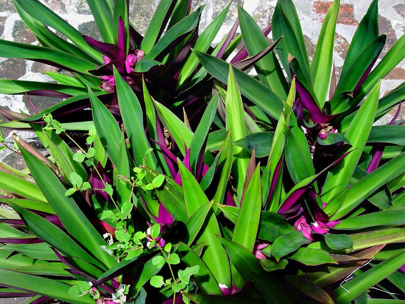 fern purple 041306 03082