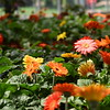 flowers 061415 667_0506