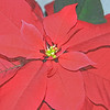 pointsettia 122414_0165 pen2