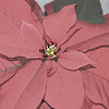 pointsettia 122414_0165 pen sbw2