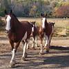 horses MCH 101006 101178