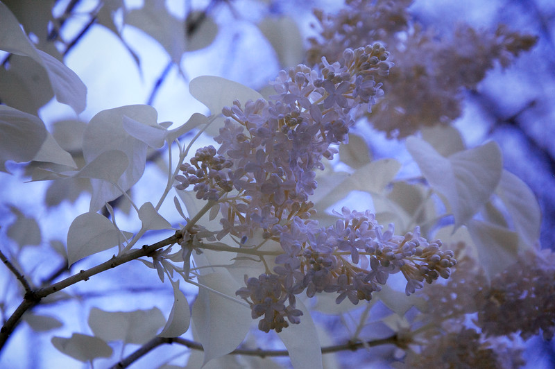 lilac inf 050516_0092 2