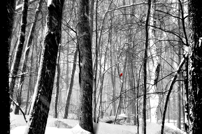 trees snow red 21314_0031 bw