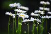 daisies 071215 _0976
