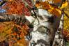 Birch 102315_0134