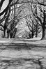 tree row 042716_0108 bw