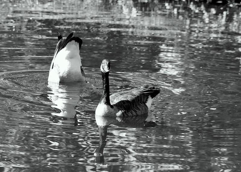 duck ass 101015 _8591 bw
