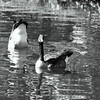 duck ass 101015 _8591 bw