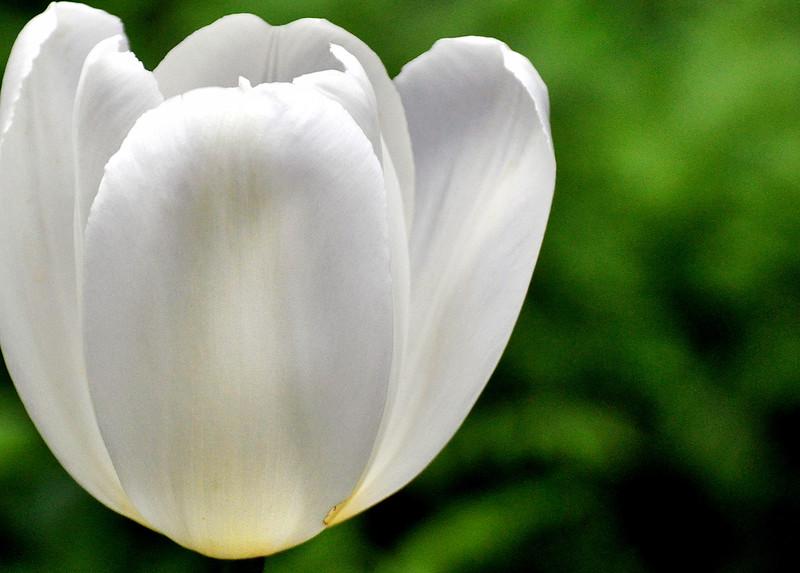 tulip white 051715_0633 3