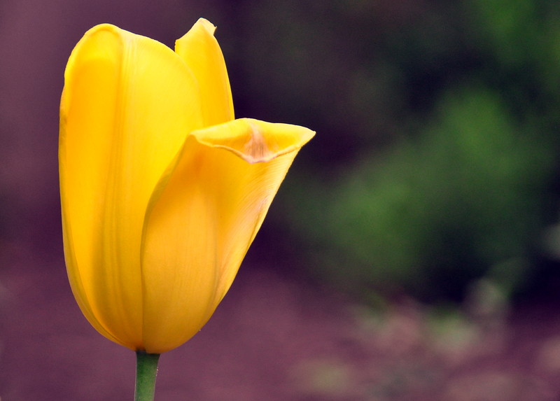 tulip yellow 051715_0638 3