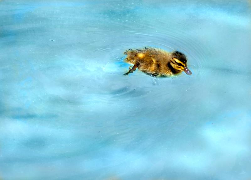 duckling 41614_0238 3