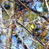 goldfinch 042915_1034
