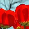 tulip-ROW 2 Q