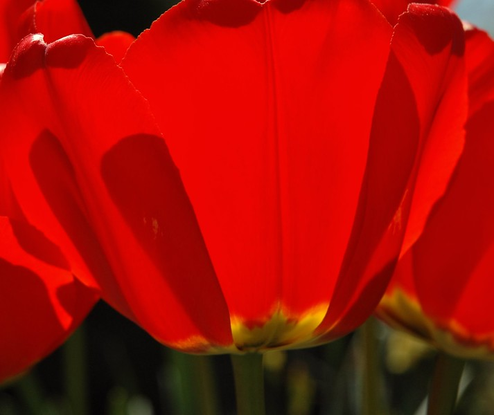 tulip- CLOSE Q