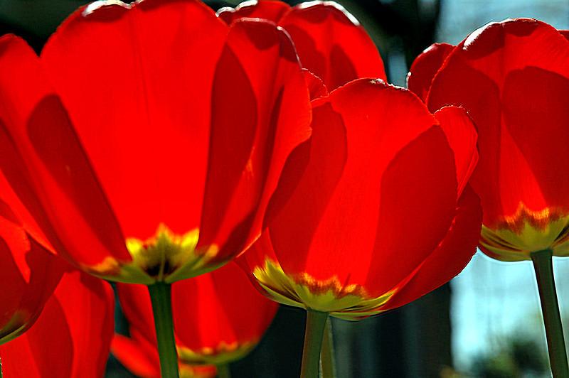 tulip-ROW