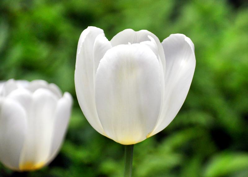 tulip white 051715_0633