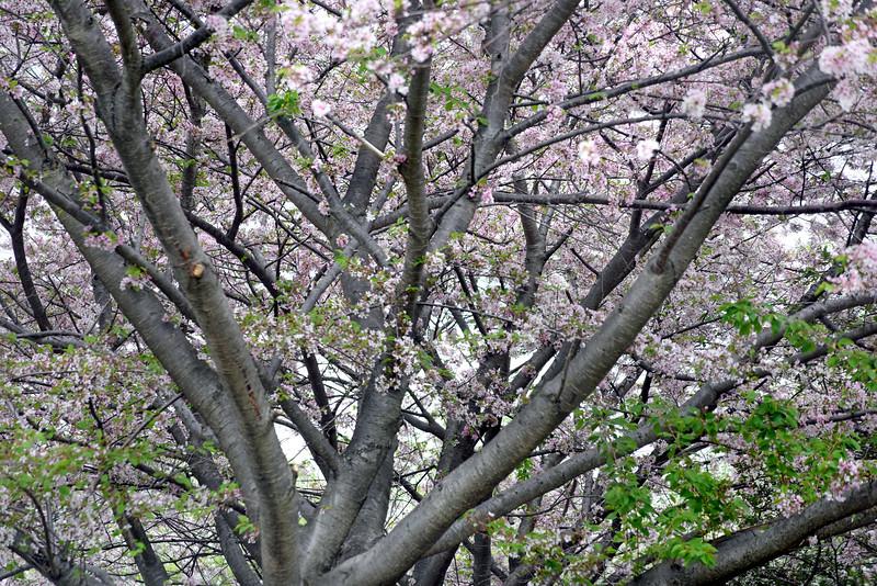 tree bloom 050515_1083 2