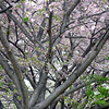 tree bloom 050515_1083 2