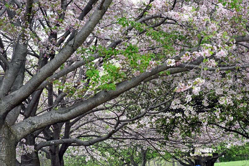 tree bloom 050515_1084 2