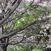 tree bloom 050515_1084 2