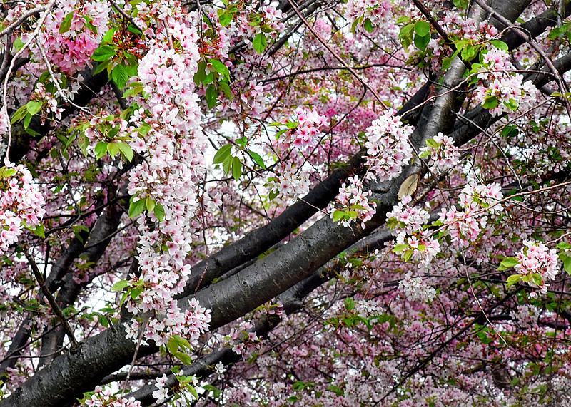 tree blooms 050515_1070 2
