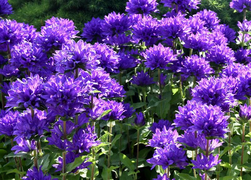 purple 061415 667_0480
