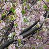 tree blooms 050515_1069 4
