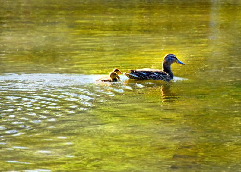 ducklings 052315_1536