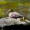 duckling 052315_1497 2