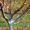 tree apple 042716_0129