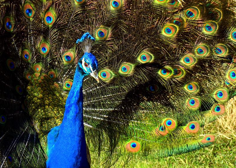 peacock 122714_0127 2