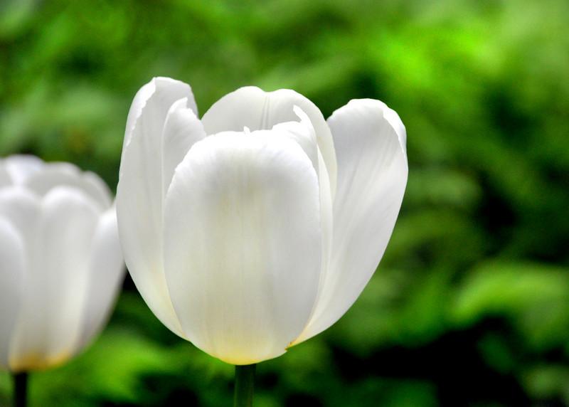 tulip white 051715_0630
