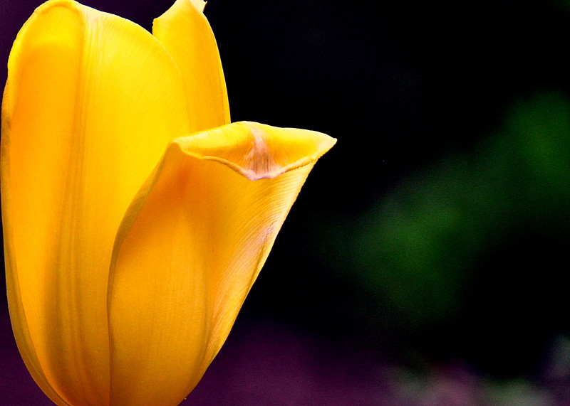 tulip yellow 051715_0638 4