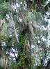 tree moss 081909_0795 2