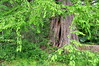 tree 051715_0606