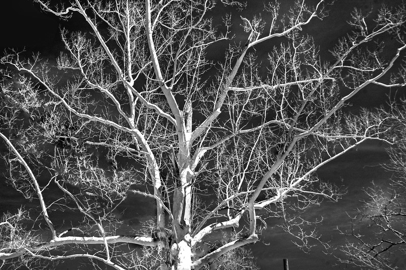 Tree white Infrd 041616 74