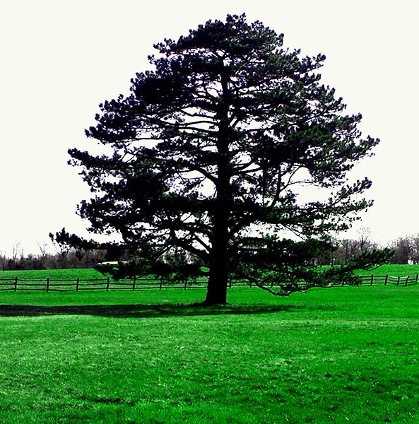 tree Q