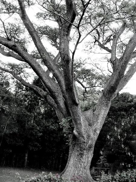 tree St johns 040306 03075 bw