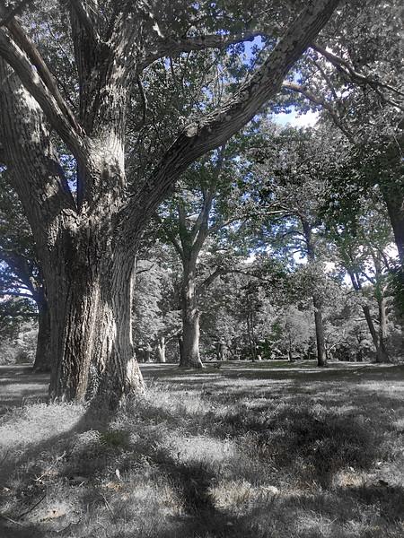crossing tree 080716_0833 bw