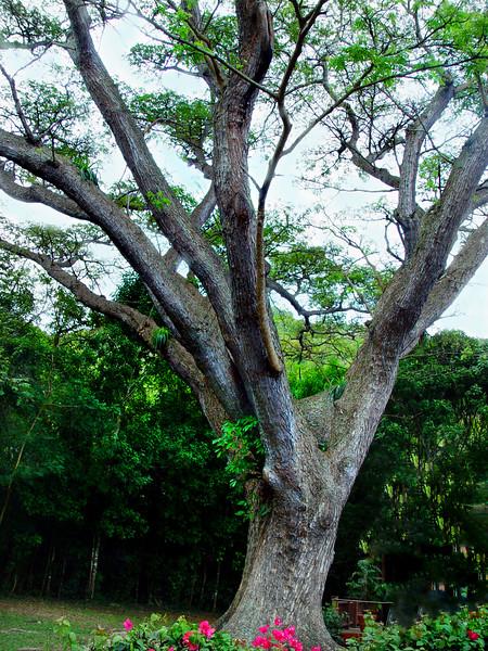 tree St johns 040306 03075
