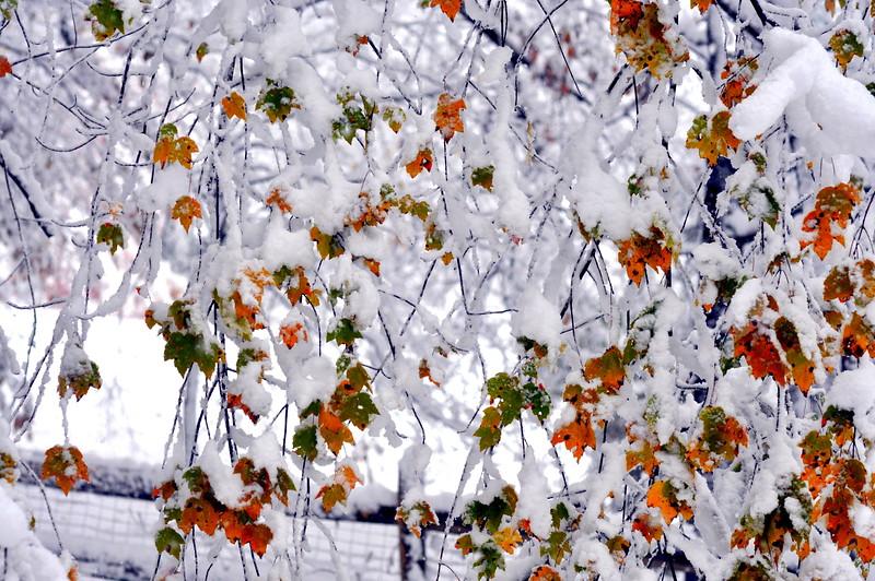snow leaves 102911 010