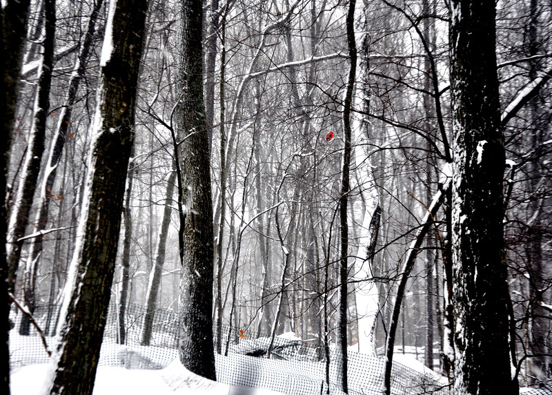 trees snow red 21314_0029 3