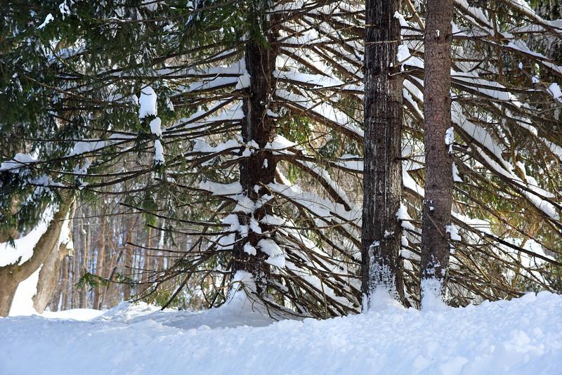 snow trees 012416_0217