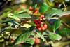 berries 122714_0076 2