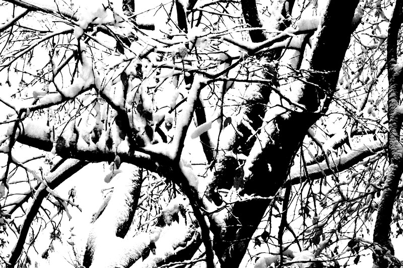 snow tree 102911 58 bw
