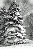 snow fir 012416_0177