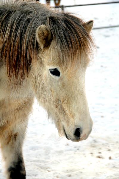 horse iceland 121911 RL__0060 2