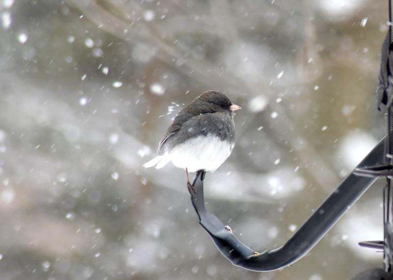 snow bird 012615_0374 3